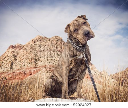 Shar Pei Mix Dog in the desert