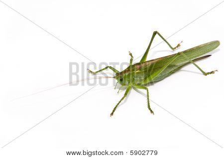 Grasshopper frontal
