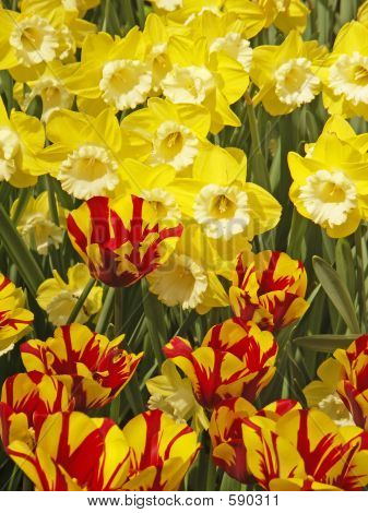 Exotic Colored Tulips And Narcissus