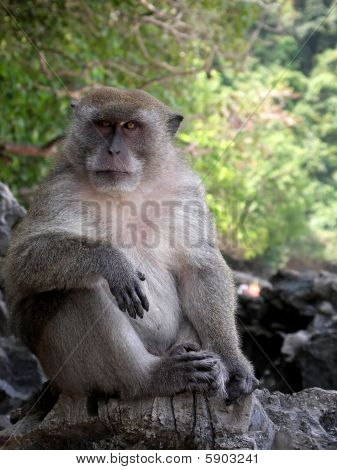 Macaque Monkey From Monkey Beach In Thailand