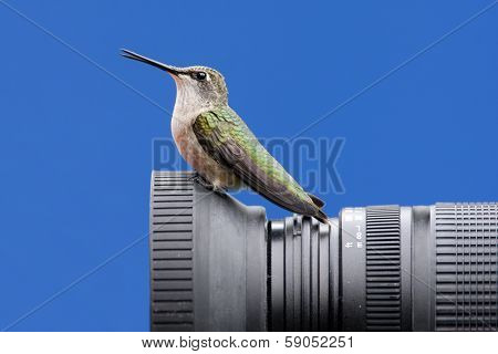 Ruby-throated Hummingbird On A Camera