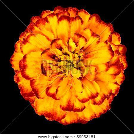 Yellow Orange Marigold Flower Isolated On Black Background