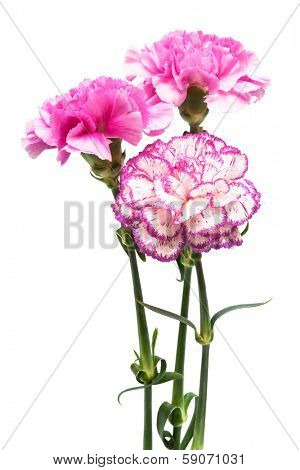 three garden carnation on a white background