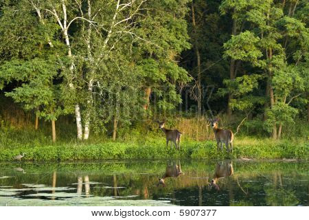 Two white tail deer standing beside a wooded lake in the summer.