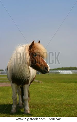 Pony In A Field