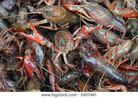 Live Crawfish