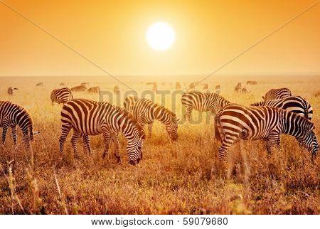 Zebras herd on savanna at sunset, Africa. Safari in Serengeti, Tanzania