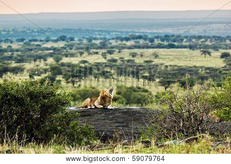 Lion lying on rocks and roars on savanna at sunset. Safari in Serengeti, Tanzania, Africa