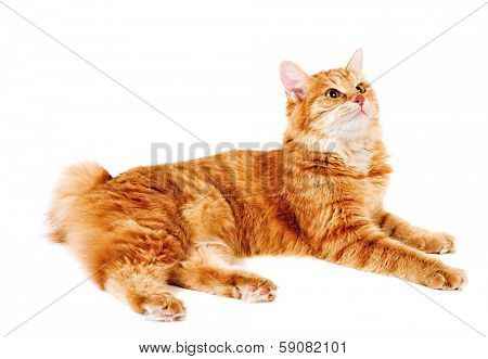 red bobtail isolated on white