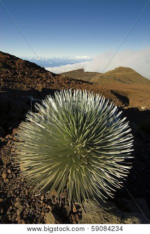 Silversword plant in Haleakala National Park, Maui, Hawaii
