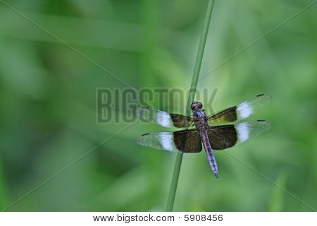 Black And Blue Dragon Fly