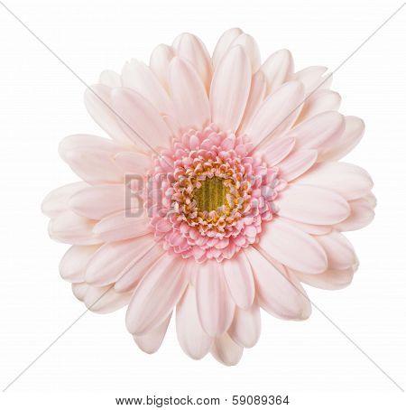 Pink gerbera flower.