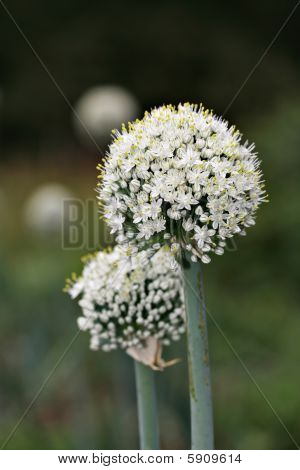 Onion Blossom