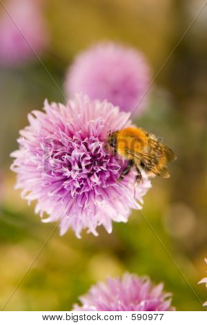 Honey Bee On Pink Flowering Herb