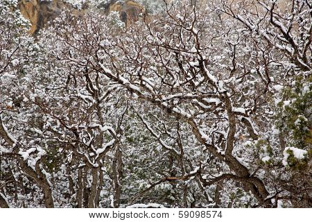 Nevada USA spring first snow in the mountain trees