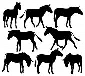 pic of donkey  - Set of editable vector silhouettes of zebra - JPG