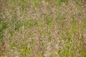 stock photo of tallgrass  - Smooth Bromegrass - JPG