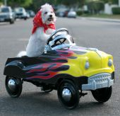image of blood drive  - Fifi the World Famous Bichon Frise Dog enjoys a day out riding around in her Pedal Car - JPG