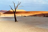pic of arid  - Desert dunes with sunlight on a barren tree - JPG