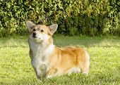 stock photo of corgi  - A young healthy beautiful red sable and white Welsh Corgi Pembroke dog with a docked tail standing on the grass - JPG