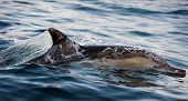 foto of whale-tail  - The dolphin comes up from water - JPG