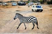 stock photo of zebra crossing  - Lonely zebra crossing the dirt road against safari cars in Masai Mara at sunset Kenya - JPG