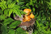 pic of chanterelle mushroom  - Freshly picked chanterelle mushrooms lie on a stump - JPG