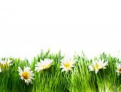 foto of chamomile  - Spring Meadow with Daisies - JPG