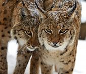 picture of bobcat  - Bobcat in their natural habitat in winter - JPG