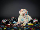 picture of caught  - A silly Lab puppy looking like he just got caught getting into paint cans and making a colorful mess - JPG