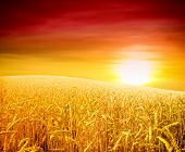 foto of light weight  - wheat field at the sunset - JPG