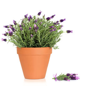 stock photo of flower pot  - Lavender herb plant in flower growing in a terracotta pot with flower sprig over white background - JPG