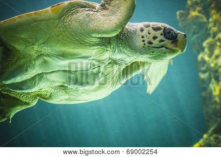huge turtle swimming under the sea
