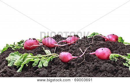 Harvested Radish Isolated
