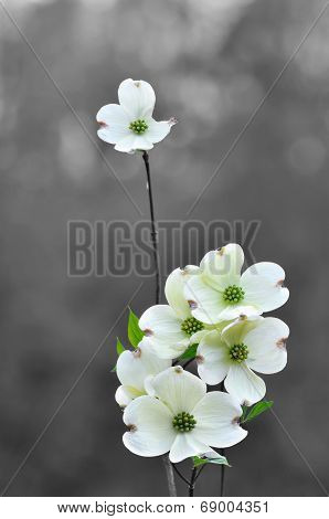 White dogwood flowers in spring