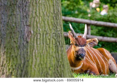 Bongo (tragelaphus Eurycerus Eurycerus)