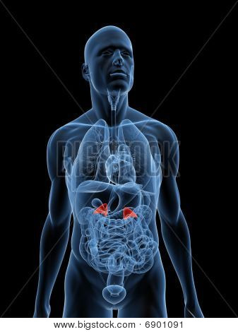 human adrenal glands