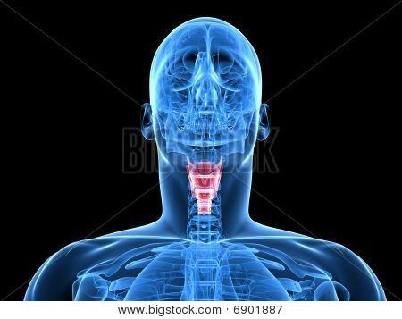 human larynx