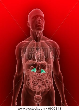 human adrenal glands