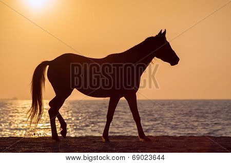 Horse walks along the shore of the beach against the sunset ocean. Free horse silhouette