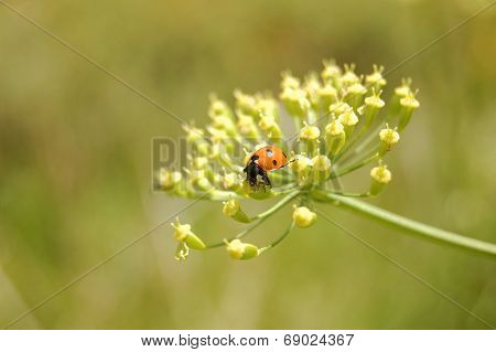 Ladybug. Wild ladybird on a plant