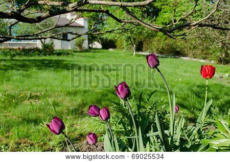 Dark Purple Garden Tulips In The Shade Of Trees