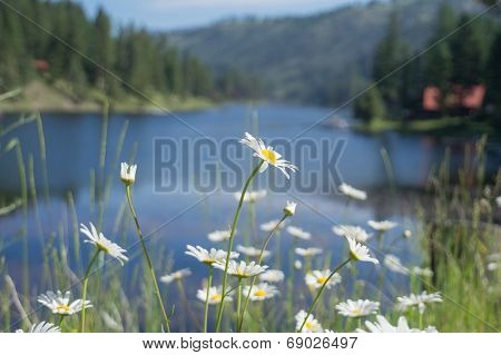 Ox Eye Daisy with Lake Background