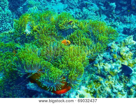 Coral reef underwater background, clown fish swimming near colorful corals, abstract natural background, beautiful wildlife, wonderful nature of Indian ocean