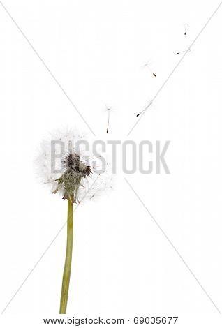 old dandelion isolated on white background