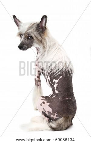 Back View Of A Hairless Chinese Crested Dog