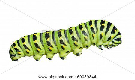 ?aterpillar Of Swallowtail