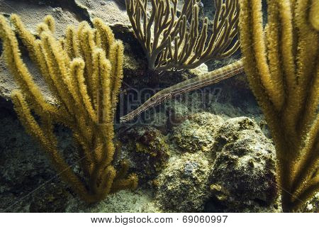Atlantic Trumpetfish