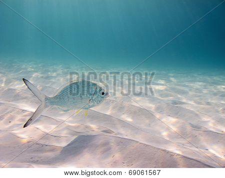 Yellowfin Mojarra In The Blue