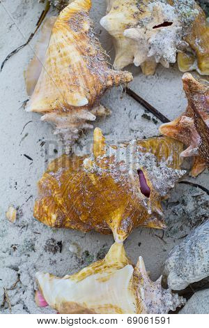 Seashell By The Sea Shore